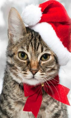 Gorgeous Tabby Christmas Cat. / You can Add Santa to Your photos. Try it out for Free at Capturethemagic.com