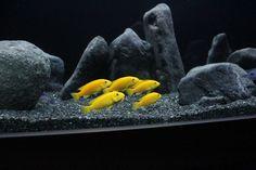 cichlid aquairum