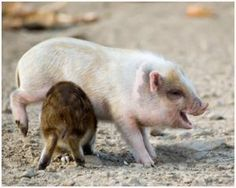 Awww its tickling the pig, thats sooo funny!