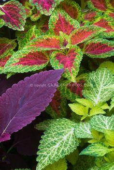 Coleus Red Rosie, Red Dwarf, Dairy Maid   Plant & Flower Stock Photography: GardenPhotos.com