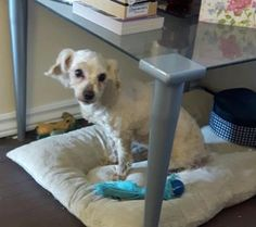 Sofie is an adoptable Bichon Frise searching for a forever family near Oshawa, ON. Use Petfinder to find adoptable pets in your area.