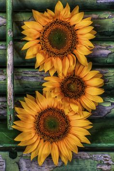 Sunflower Still Life by Jim Crotty on 500px