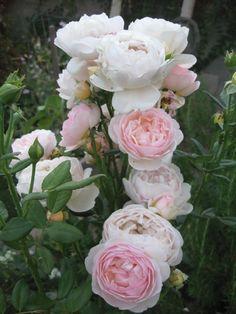 'Evelyn'   Shrub, David Austin English Rose. Bred by David C. H. Austin, 1992