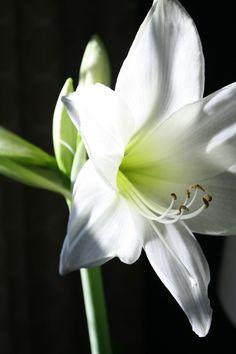 Resultado de imagem para amaryllis green