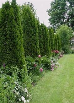 Planting trees to form an Arborvitae Pyramidalis privacy fence is a very effective way of creating a thick barrier behind which your life can proceed without the worry of being seen. The fence will…MoreMore #LandscapingIdeas