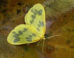 Geometridae : Eubaphe mendica - The Beggar Moth by William_Tanneberger