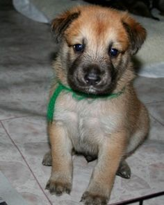 I WILL be getting a Chinook puppy someday!  Great family and activity dogs, and oh-so-adorable!