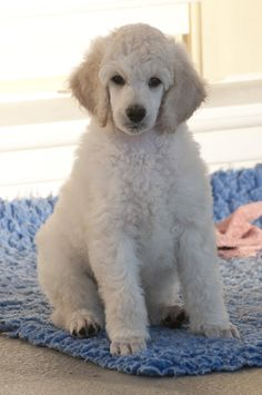 White Standard Poodle puppy, Tim