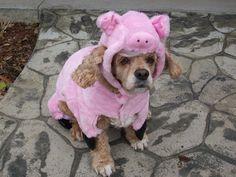 Halloween pig?