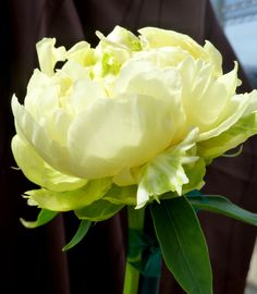 Gold Mine | Pure Peonies