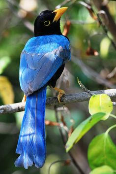 Yucatan Jay, found in Belize, Guatemala, & southern Mexico. Natural habitats are subtropical or tropical dry forests & heavily degraded former forests.