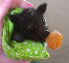 Viv, the orphaned Black Flying Fox - http://www.change.org/en-AU/petitions/flying-foxes-under-threat-in-qld