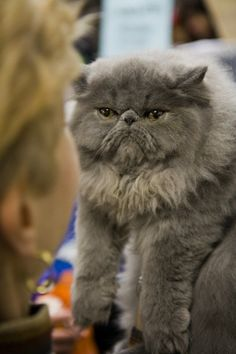 Gray Persian--I'm not sure I'll get to have one of these sweeties.
