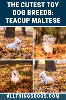 Toy Dog Breeds: 12 of The Cutest, Fluffiest & Smallest Dogs Teacup Dog Breeds, Toy Dog Breeds, People Pleaser, Teacup Maltese, Cute Toys, New Puppy, 20 Years, Small Dogs, Tea Cups