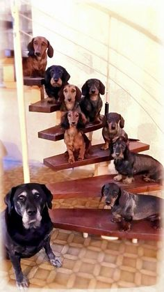 Dachshunds Plus One .