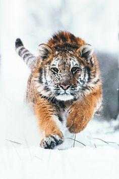 banshy:  Siberian Tiger by Martin Mecnarowski