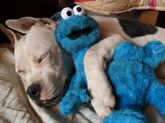 Dogo Argentino conCookie Monster!   I would love to meet a Dogo Argentino.   What a pretty breed.
