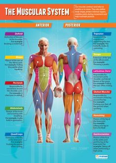 The Muscular System Physical Education Chart in high gloss with heavy stock lamination 33 x 235 SHIPS 510 DAYS >>> Continue to the product at the image link. (This is an affiliate link) Human Body Anatomy, Human Anatomy And Physiology, Muscle Anatomy, Health Education, Physical Education, Education Posters, Education Office, Clinique Chiropratique, Muscular System Anatomy