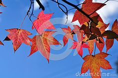 #Red #Leaves Of #Autumn Stock Image High-resolution stock photos and vectors. Image: 38779374