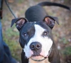 Petango.com – Meet Olaf, a 1 year 6 months Terrier, American Staffordshire / Mix available for adoption in DECATUR, GA