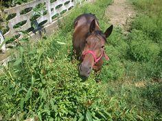 cavallo al verde