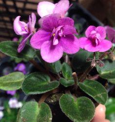 Miniature African violets are so sweet! #cornellfarm
