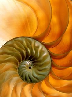 ❥ Nautilus Shell