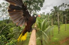 Montezuma oropendola (Psarocolius montezuma) landing on a branch at the lowlands of Costa Rica