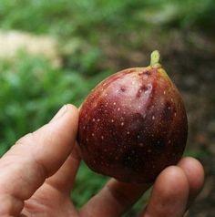 Árboles frutales de crecimiento rápido 1