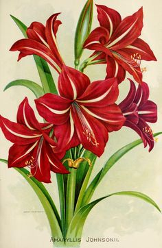forcing amaryllis bulbs indoors for holiday use amaryllis holidays flower re - Life ideas Art Floral, Botanical Illustration, Botanical Prints, Vintage Printable, Florida Flowers, Impressions Botaniques, Amaryllis Bulbs, Garden Bulbs, Plant Drawing