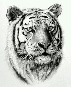 Tiger Drawing, Tiger Art, Tiger Tiger, Animal Sketches, Animal Drawings, Tiger Tattoodesign, Art Tigre, Tattoo Drawings, Art Drawings
