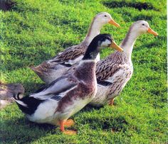 At Grimm Acres, we love our Silver Appleyard Ducks and hope to have eggs and ducklings for sale in the spring.