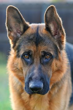 German Shepherd...This dog looks as though he's ready to say something.