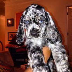 blue-eyed Merle ACA Cocker Spaniel Puppy
