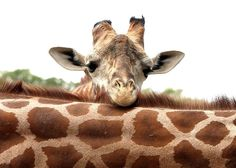 Contemplation - Baby giraffe RePinned By: *Doniele Disney* www.poppiespaintpowder.com