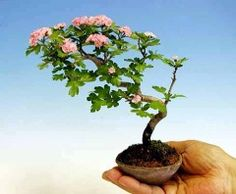 Nippon Hawthorn mini bonsai