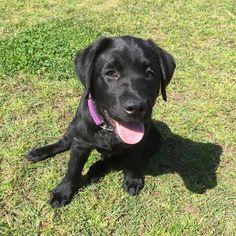 Bullet Labrador   Pawshake Sydney