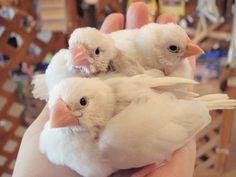 P&C LEON 小鳥専門店(@P_C_LEON)さん | Twitter