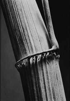Andreas FEININGER :: Schilfrohr [reed], 1934