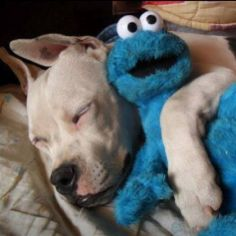 "Pitbull cuddling with the Cookie Monster! I have a Pitbull and I hate how a lot of people make them out to be blood-thirsty monsters when really, the humans are. As I have said many times before, ""Monsters are raised, not born. Baby Animals, Funny Animals, Cute Animals, I Love Dogs, Puppy Love, American Staffordshire Terriers, English Terrier, Cute Puppies, Cute Dogs"