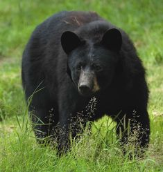 Bear+Pictures+and+Photos.++Black,+Brown,+and+Grizzly+Bears.+Polar+Bears+and+Pandas.+Free+Public+Domain.