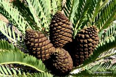 Cycad Encephalartos eugene-maraisii Living Fossil, Hardy Plants, Exotic Plants, New Leaf, Planting Succulents, South Africa, Garden Ideas, Photo Galleries, Tropical