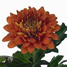 Chrysanthemum Blooms Charmena are a bronze disbudded, single headed cut flower variety. 70cm tall & wholesaled in 10 stem wraps.