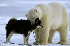 Polar bear and huskie