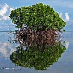 Mangroves. Florida Keys