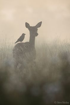 """The Doe and the Jackdaw (part by Steve Mackay. Deer with a bird on her back Beautiful Creatures, Animals Beautiful, Animals And Pets, Cute Animals, Wild Animals, Nature Animals, Baby Animals, Jackdaw, All Nature"