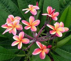 Frangipani- Plumeria Hybrid0 South Florida Plant Nursery and Landscaping Services, Tropical Plants, D'Asign Source Botanicals