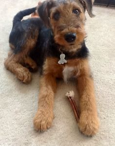 My great Airedale.