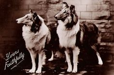 Vintage Collie postcard Beautiful dogs then, Still beautiful dogs now. Collie Mix, Rough Collie, Best Dog Breeds, Best Dogs, Dog Photos, Dog Pictures, Collie Breeds, Scotch Collie, Dogs And Puppies