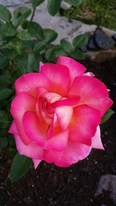 My first real rose bloom.